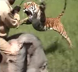 Tiger vs Elephant